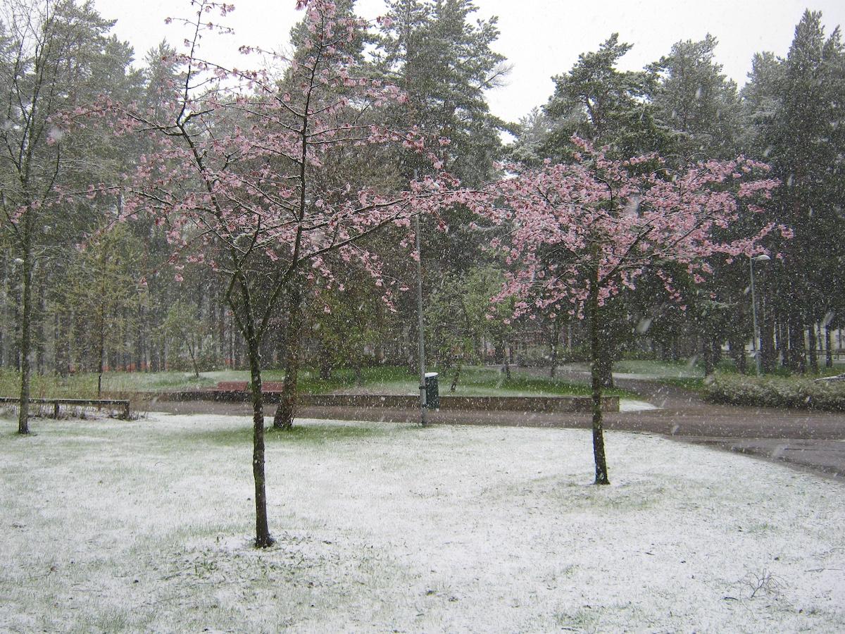 Kukkivat kirsikkapuut toukokuisessa lumisateessa
