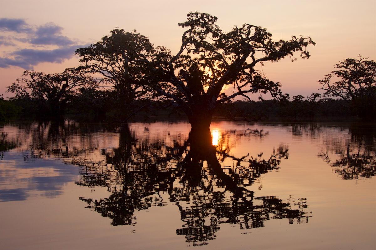 Aurinko laskee sademetsän tulvajärven ison puun taakse.