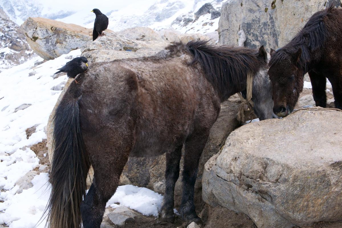 Varis nyppii karvoja hevosen selästä