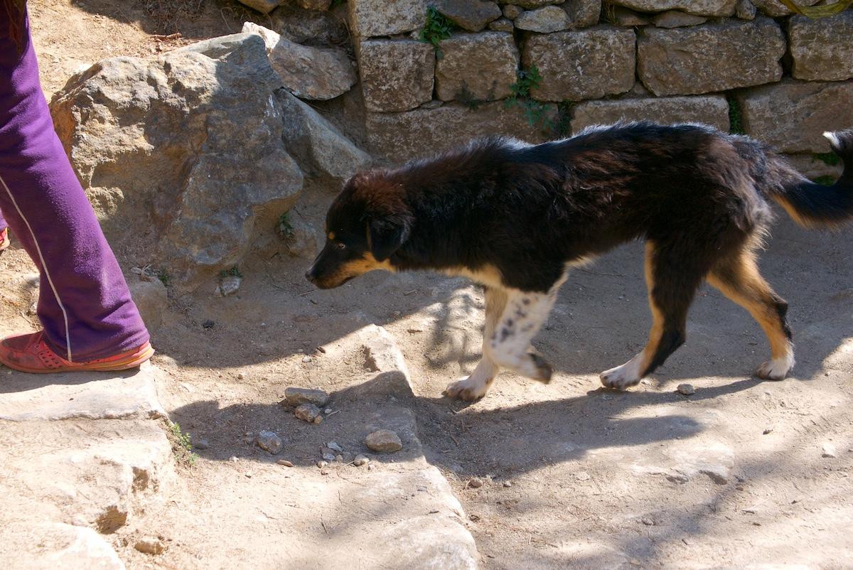 Koira nousee polun kiviaskelmia