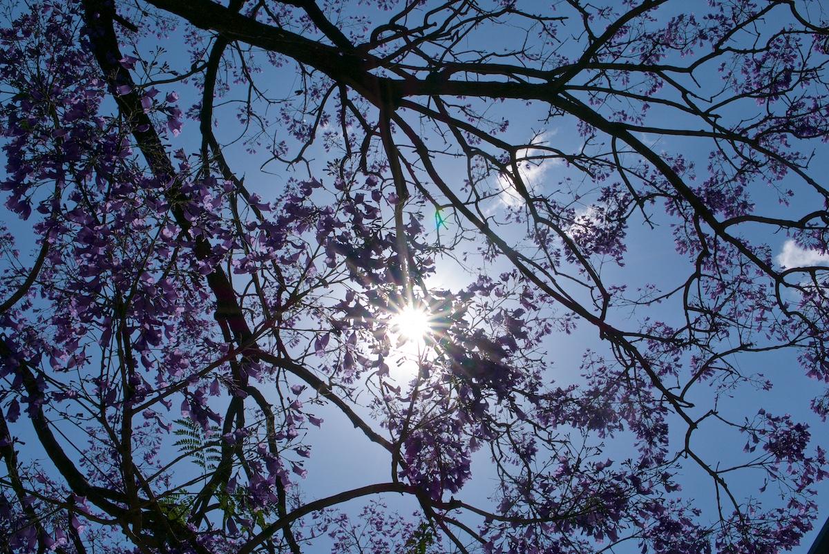 Puu kukkii violettina