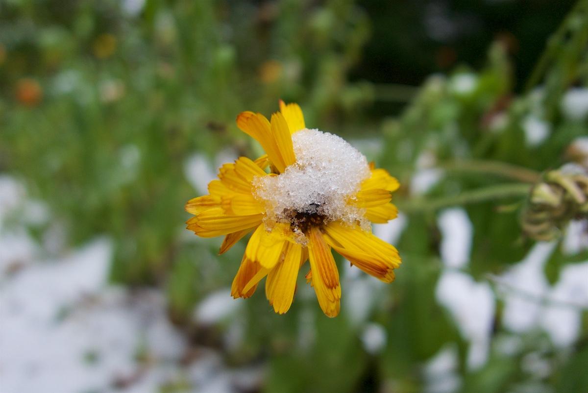 Keltainen kehäkukka, jonka päälle on satanut lunta