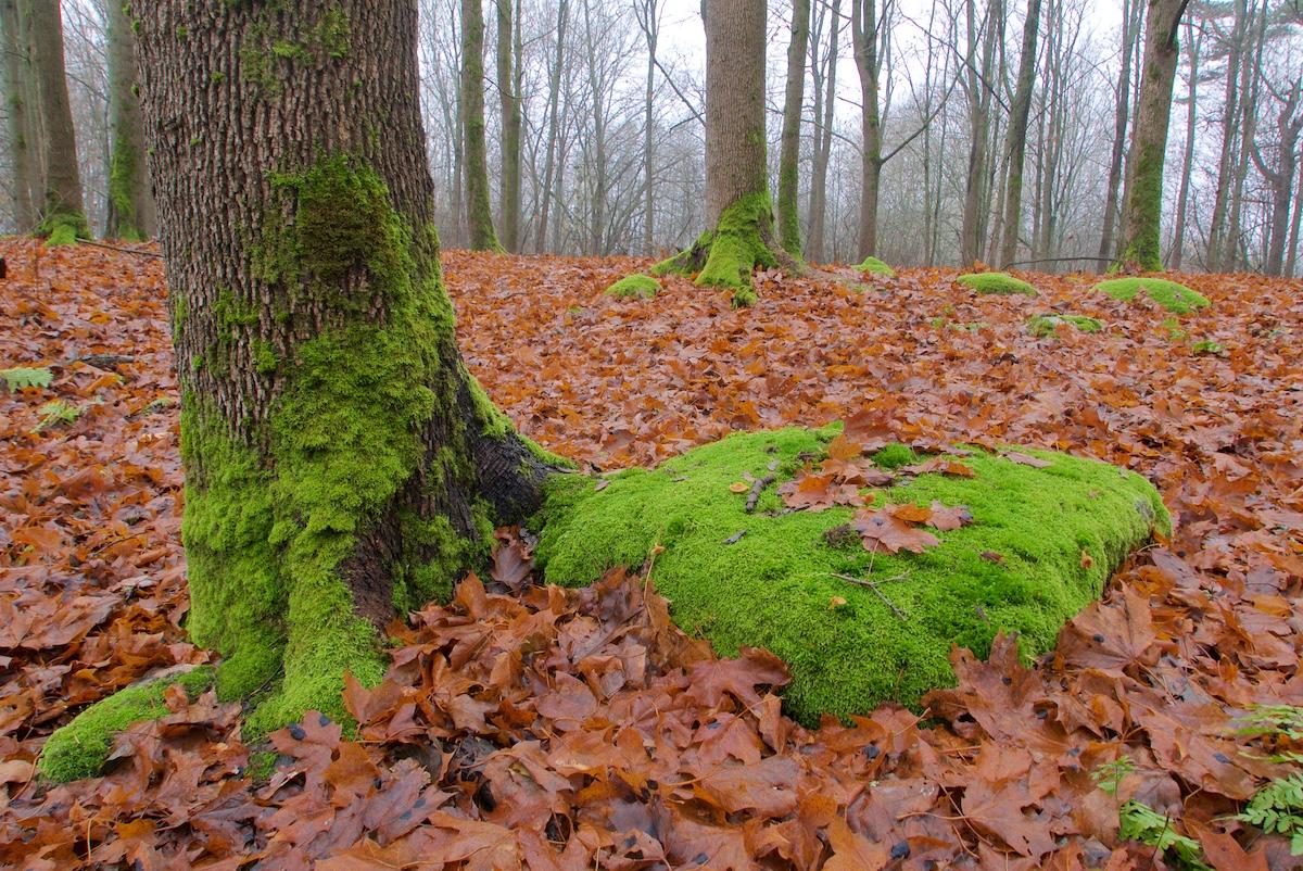 Maa on ruskeiden vaahteranlehtien peitossa, vaahteroiden runkojen tyviä peittää kirkkaanvihreä sammal.