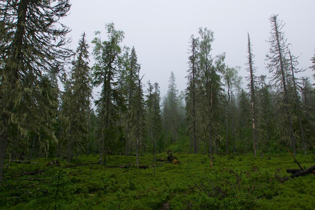 Vanhaa metsää: hyvin naavaisia ja kitukasvuisia kuusia, muutama koivu, mustikkavarvikkoa ja maapuita, sumua joka peittää kaukaisimmat latvat