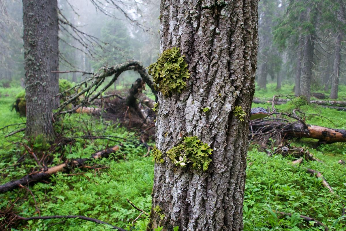 Isolehtistä vihreää jäkälää haavan kyljessä, taustalla kuusia ja maapuita, mustikkaa ja sumua